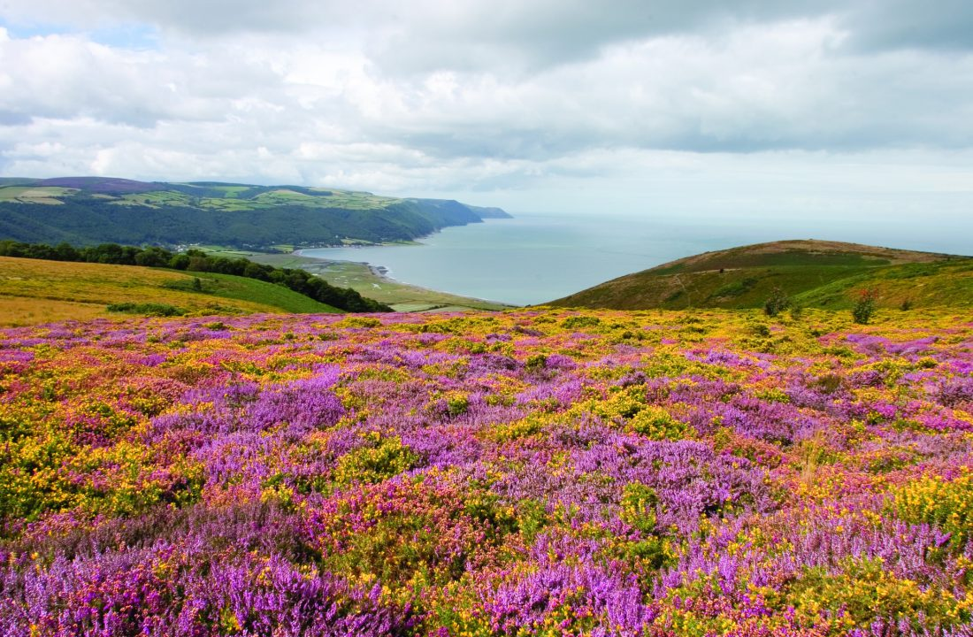 Porlock Bay with Heather and Gorse