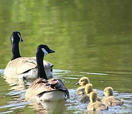 Geese and Ducks at Riverside Caravan & Camping Site, South Molton